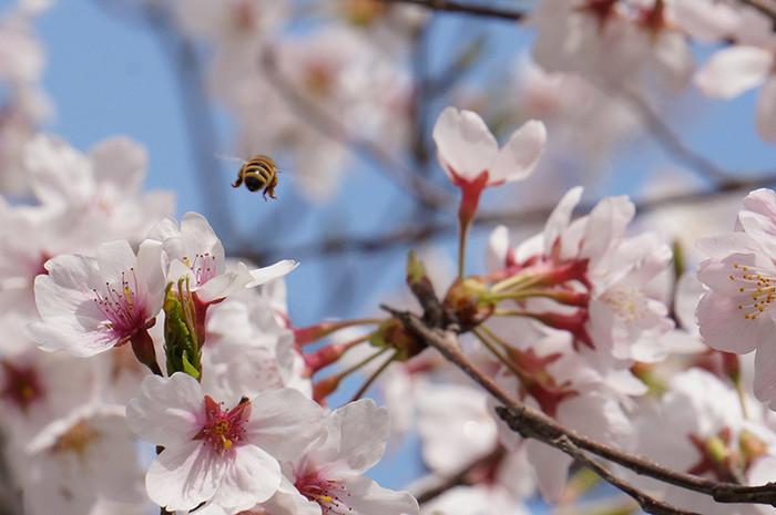 高知の桜の開花予報と名所をご紹介