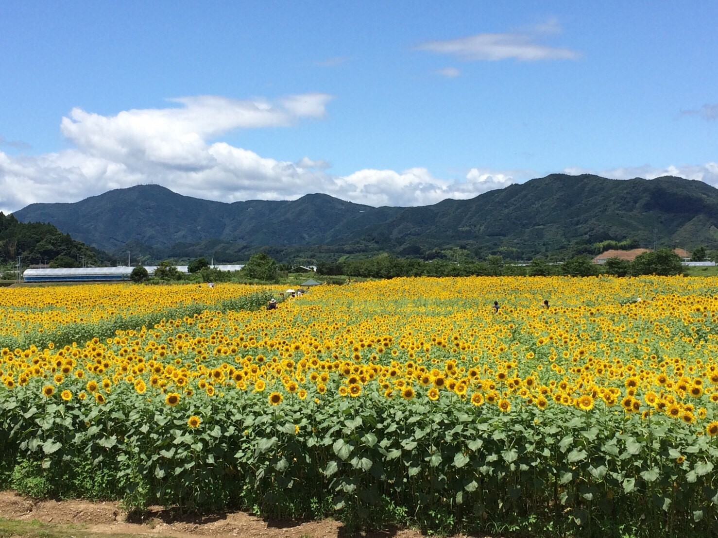 土佐市 ひまわり畑🌻_1763.jpg