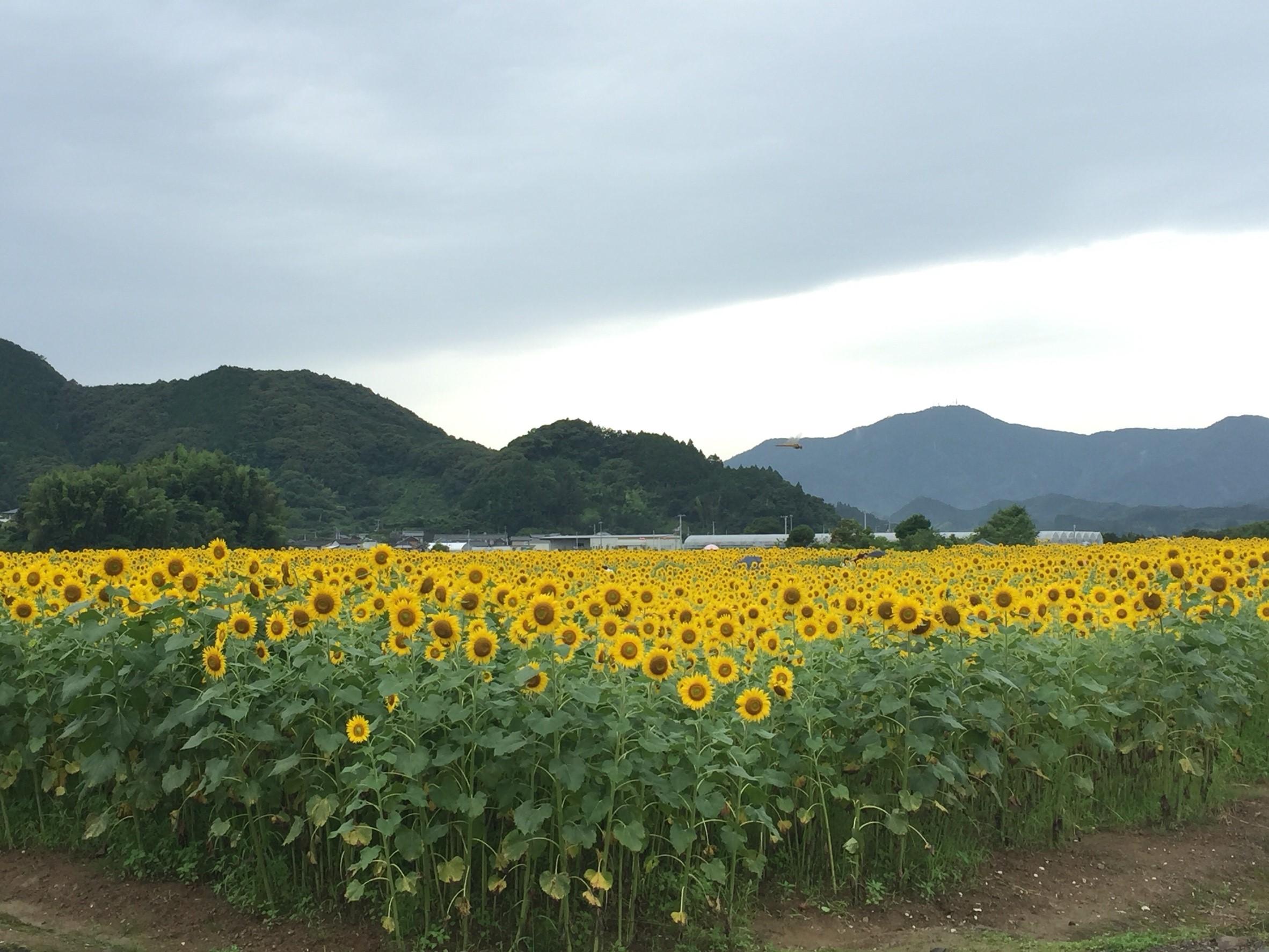 土佐市 ひまわり畑🌻_272.jpg