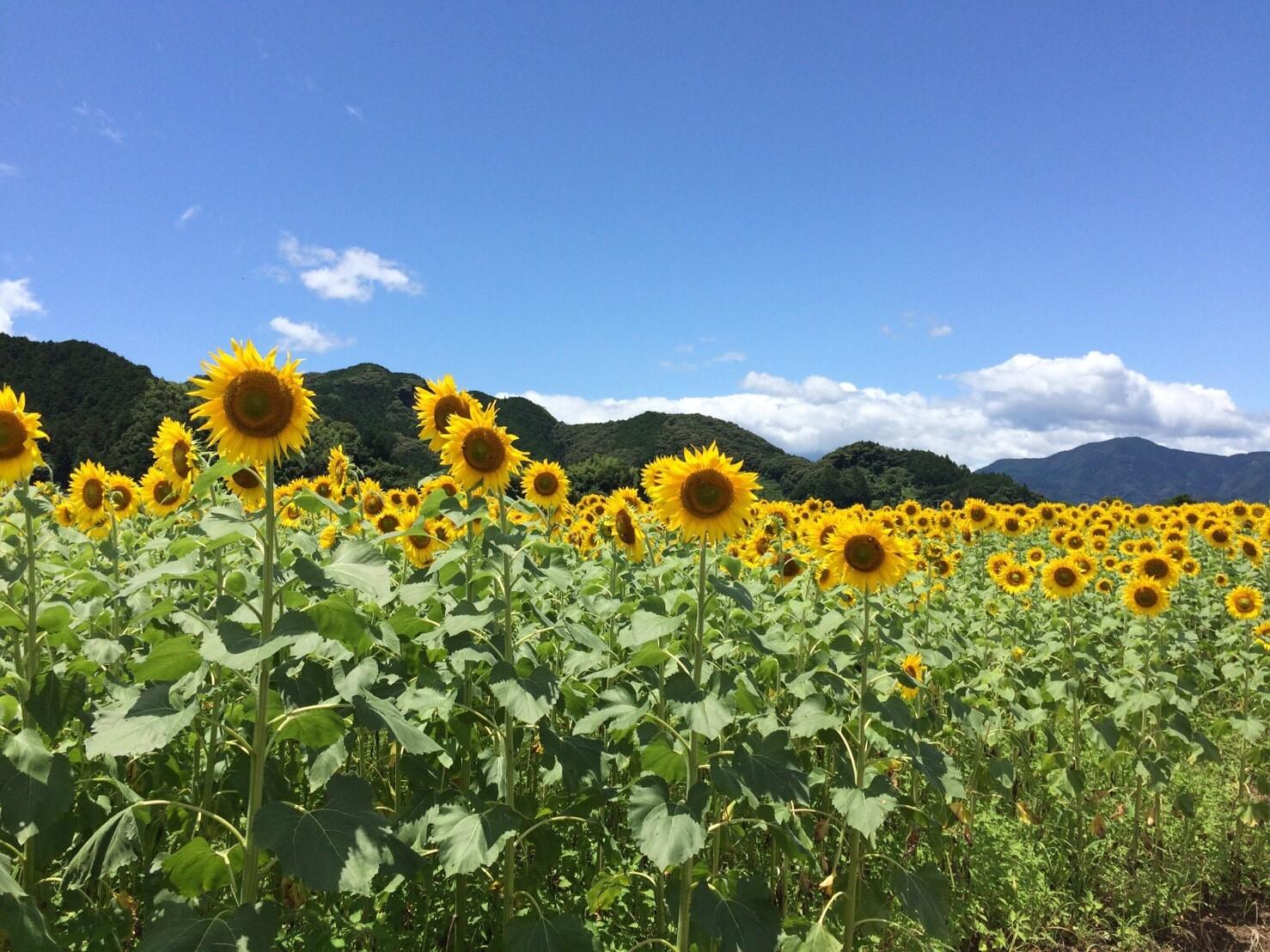 土佐市 ひまわり畑🌻_6878