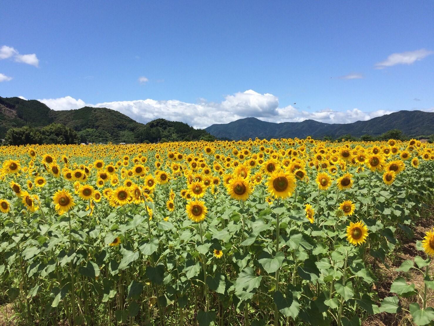土佐市 ひまわり畑🌻_6923.jpg