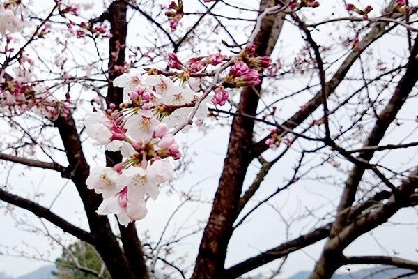 お花見にぴったりな針木浄水場